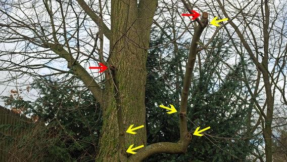Extrem Bäume und Sträucher fachgerecht schneiden | NDR.de - Ratgeber - Garten IF01
