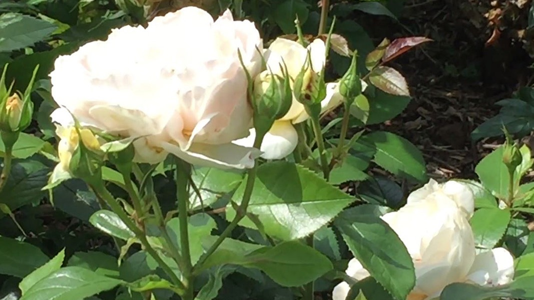 welche pflanzen passen ins rosenbeet ndr 90 3 sendungen gartentipps. Black Bedroom Furniture Sets. Home Design Ideas