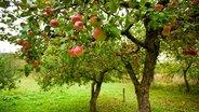 Apfelbaum auf einer Wiese. © fotolia Photo: xalanx