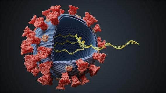 Computergrafik eines geöffneten Coronaviruses mit DNA/RNA Strängen © Panther Media Foto: vchalup2