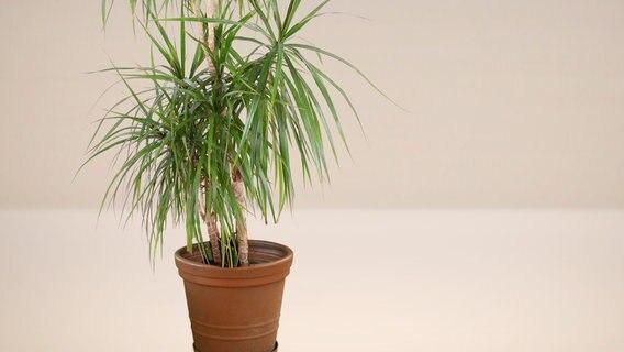 Zimmer-Palmen richtig pflegen   NDR.de - Ratgeber - Garten ...