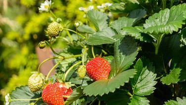Eine Erdbeerpflanze mit zwei reifen Früchten. © fotolia.com Fotograf: prophoto24