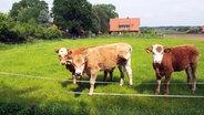 Aubrac-Kälber auf der Hof-Weide © NDR/Christian Pietscher