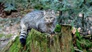 Wildkatze. © picture alliance / Reiner Bernhardt