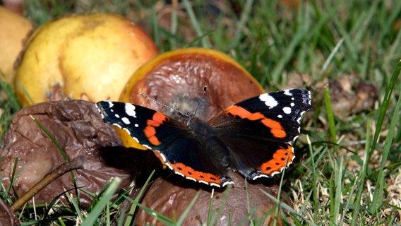 Der farbenprächtige Admiral ist im Herbst oft auf Fallobst  zu entdecken. Er saugt den reifen Fruchtsaft. © NDR Fotograf: Günter Goldmann