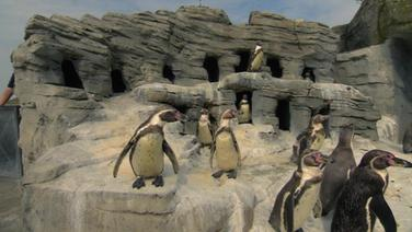 Pinguine im Zoo.