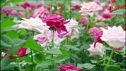 Rosa und pinke Rosen