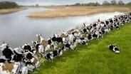 Kühe als Damm