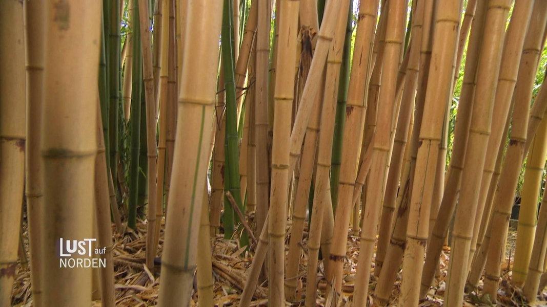 Bambus Pflanzen Pflegen Und Rhizomsperre Setzen Ndr De Ratgeber