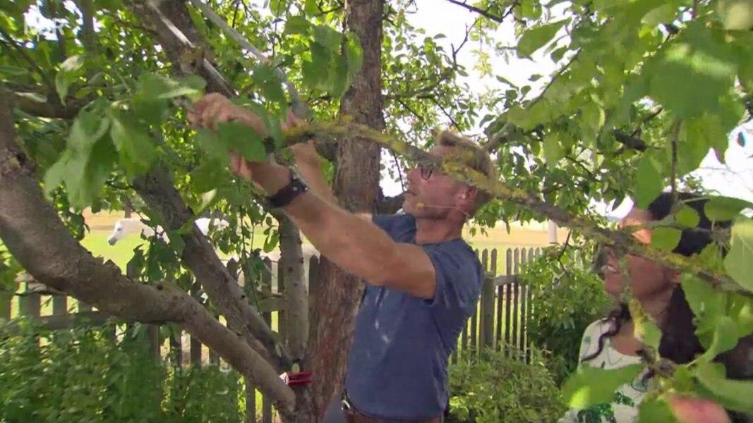 Top Sommerschnitt bei Apfelbäumen im August | NDR.de - Ratgeber @VO_64