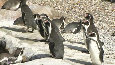 Pinguine im Rostocker Zoo.