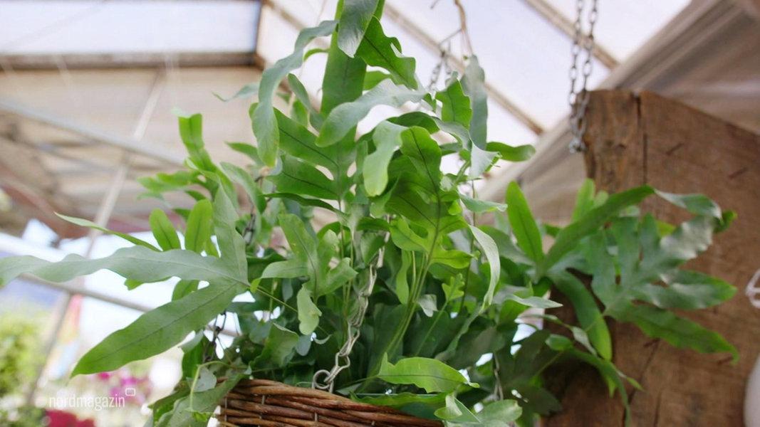 Raumklima Mit Zimmerpflanzen Verbessern Ndrde Ratgeber Garten