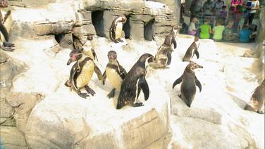 Pinguine im Zoo am Meer in Bremerhaven.