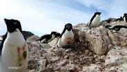 Pinguine auf einem Felsen.