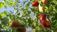 tomaten mit samen selbst vermehren ratgeber garten nutzpflanzen. Black Bedroom Furniture Sets. Home Design Ideas