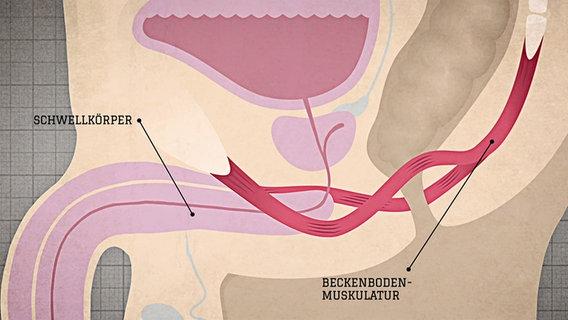 der penis des mannes