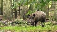 Wenn die Afrikanische Schweinepest in Deutschland ausbricht, droht ein Milliardenschaden. © NDR/Bernd Zink, honorarfrei