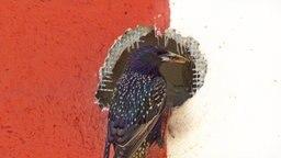 Ein Star sitzt am Eingang seiner Nest-Höhle, die sich in einer Polystyrol gedämmten Wand befindet. © NDR