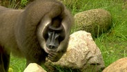 Drill-Affe im Zoo Hannover © NDR