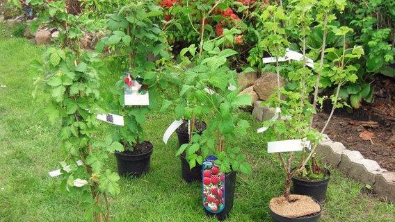 Beerensträucher Pflanzen Und Düngen