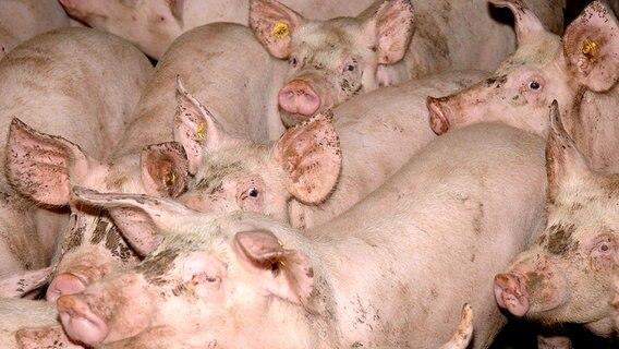schweine preise weil fordert freien export nachrichten niedersachsen osnabr ck. Black Bedroom Furniture Sets. Home Design Ideas