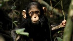 Ein kleiner Schimpanse sitzt in einem Baum. © NDR/Doclights GmbH/Blue Planet Film