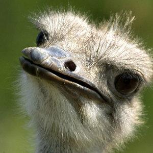 Tiere Am Mittag 2 Der Vogel Strauß N Joy Comedy