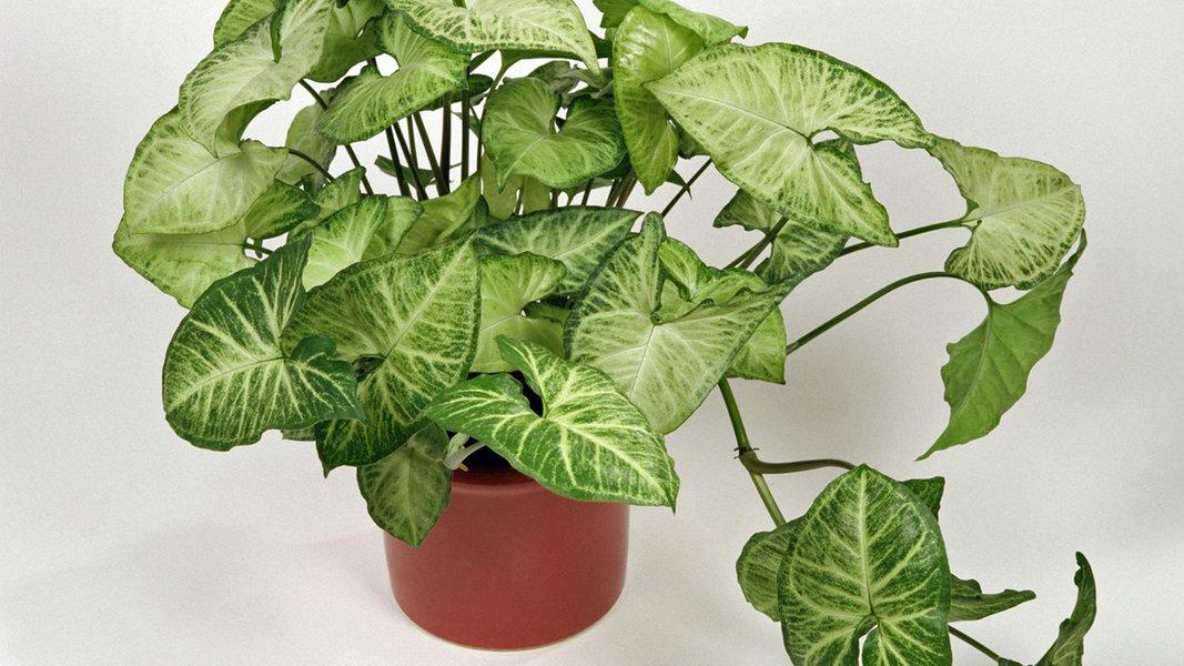 so sch n sehen panaschierte pflanzen aus ratgeber garten zimmerpflanzen. Black Bedroom Furniture Sets. Home Design Ideas
