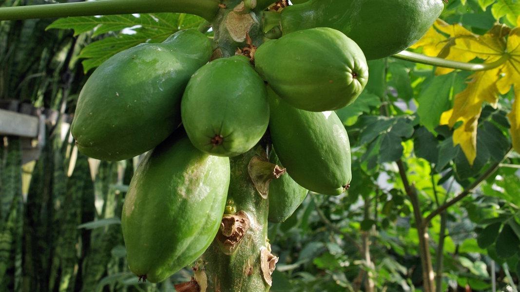 Papaya Ziehen