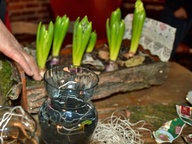 hyazinthen in der vase ziehen ratgeber garten zierpflanzen. Black Bedroom Furniture Sets. Home Design Ideas