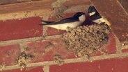 Zwei Mauersegler in einem Nest an einer Mauer. © NDR