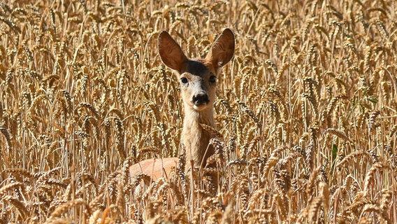 Reh im Feld © NDR Foto: Katrin Kunkel aus Ribnitz-Damgarten