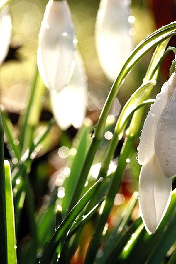 Schneeglöckchen Vermehren