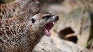 Ein Erdmännchen zeigt seine Zähne. © NDR Foto: Torsten Pottel aus Bützow/Kladow