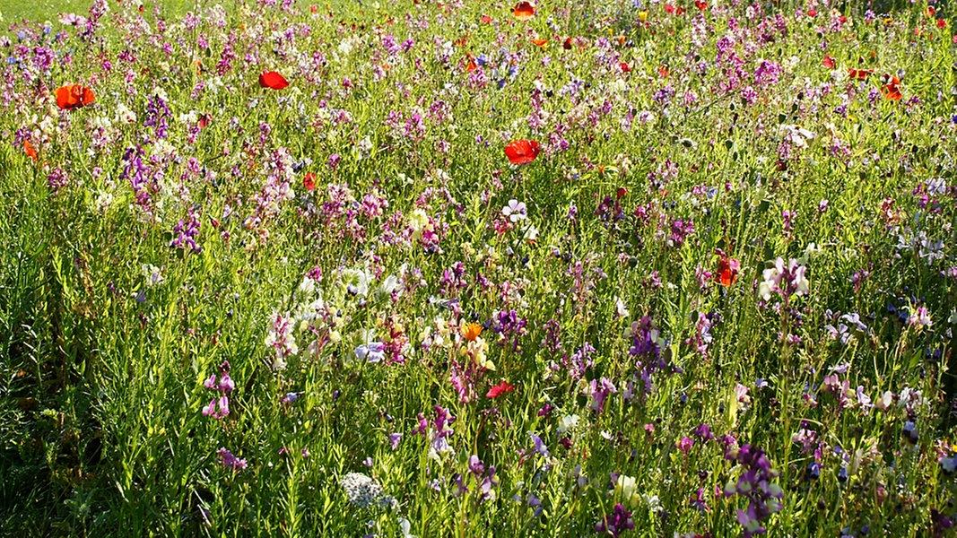 Blühpatenschaft Gegen Das Bienensterben Ndrde Ndr 1