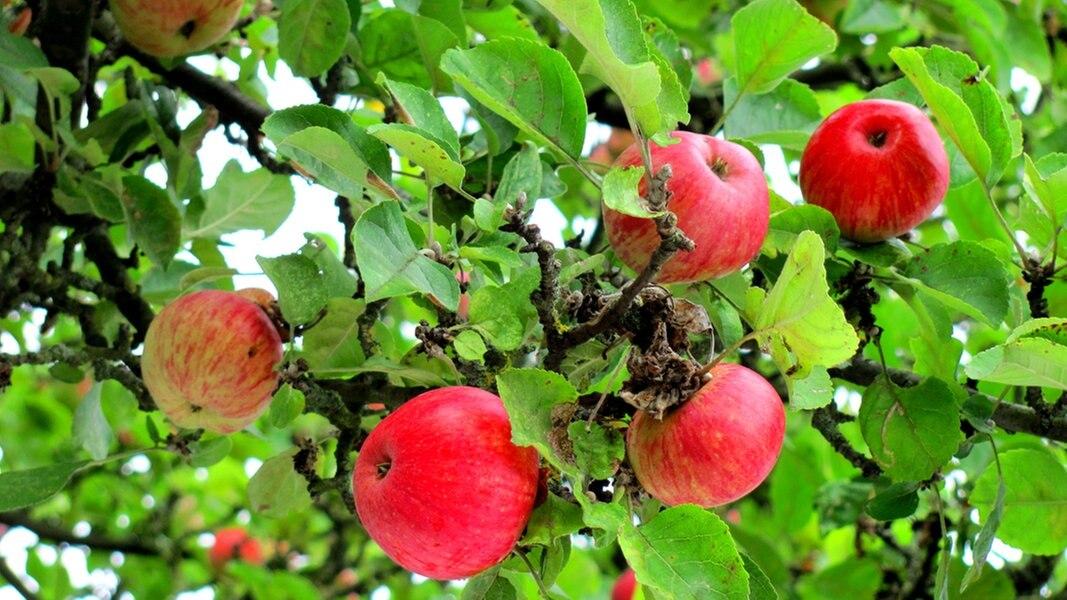 Atemberaubend Sommerschnitt bei Apfelbäumen im August | NDR.de - Ratgeber @PO_51