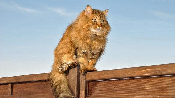 Eine Katze sitzt auf einem Sichtschutz aus Holz. © NDR Foto: Rolf Schmolling aus Thesenvitz