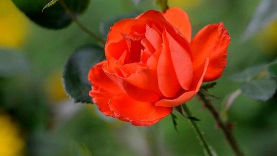 im herbst wurzelnackte rosen pflanzen ratgeber. Black Bedroom Furniture Sets. Home Design Ideas