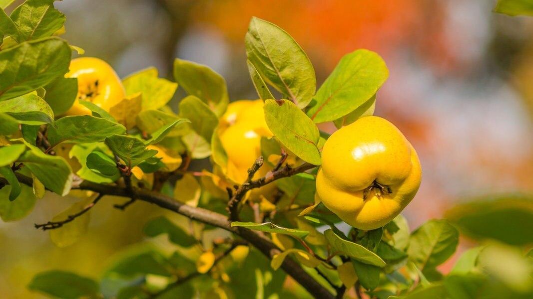 Quitten Pflanzen Pflegen Und Ernten Ndrde Ratgeber Garten