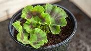 pelargonien richtig pflegen und vermehren ratgeber garten zierpflanzen. Black Bedroom Furniture Sets. Home Design Ideas