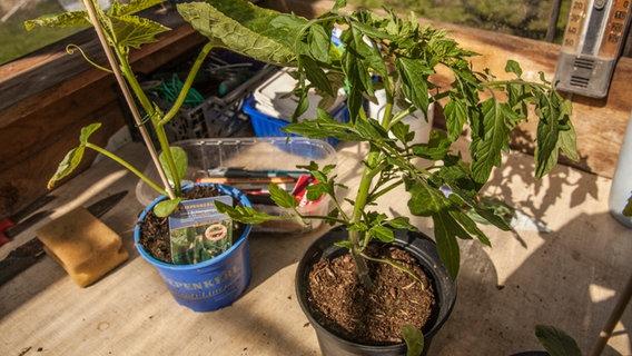 gurken und tomaten unter einem dach z chten ratgeber garten nutzpflanzen. Black Bedroom Furniture Sets. Home Design Ideas