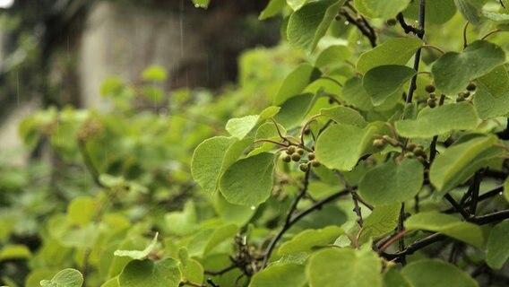 kiwipflanzen dekorativ und geschmackvoll ratgeber garten nutzpflanzen. Black Bedroom Furniture Sets. Home Design Ideas