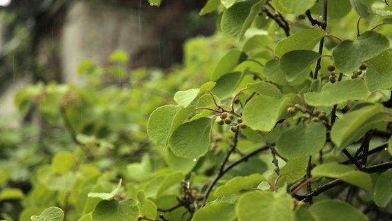 kiwi pflanze kaufen gartentraum flessau kiwi pflanze. Black Bedroom Furniture Sets. Home Design Ideas