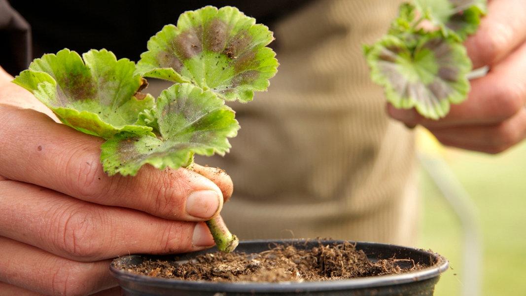 Anleitung: Pflanzenvermehrung Durch Stecklinge