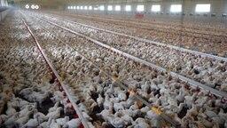 Ein großer Maststall mit Zehntausenden Hühnern. © dpa Foto: Carmen Jaspersen