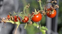 Tomatenpflanze auf einem Balkon. © NDR