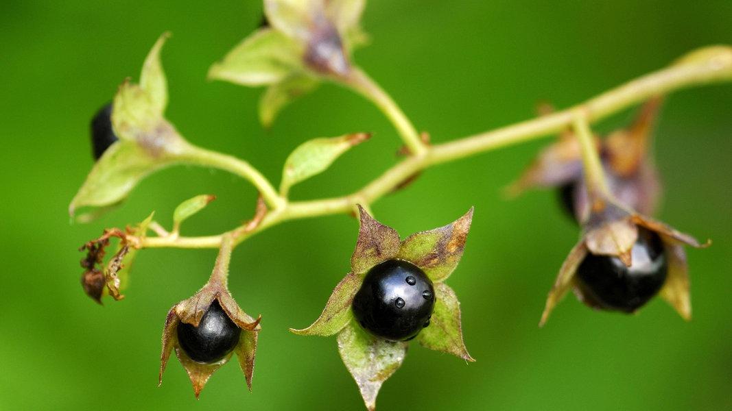 giftige gartenpflanzen ratgeber garten. Black Bedroom Furniture Sets. Home Design Ideas