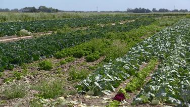 Ein Feld, auf dem Kohlrabi angebaut ist. © NDR