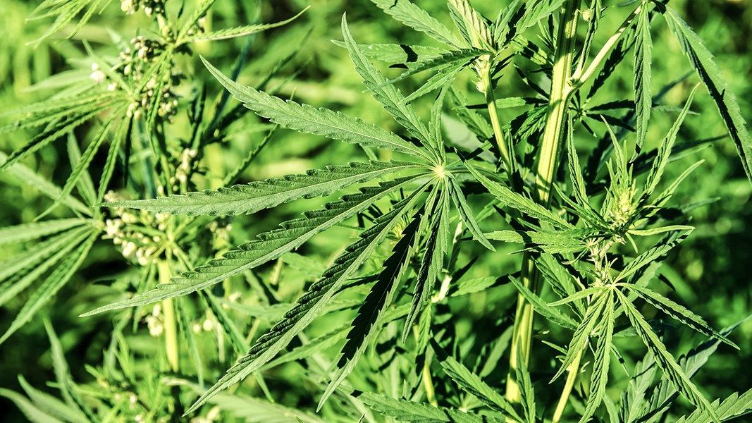 Hanf: Vielseitige Nutzpflanze für die gesunde Küche