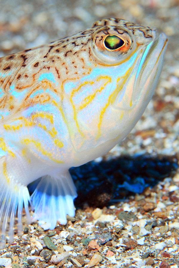 Petermann Fisch